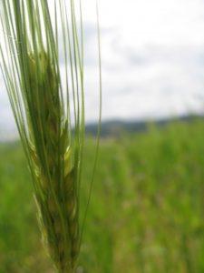 poco barley